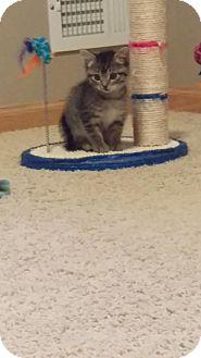 Domestic Shorthair Kitten for adoption in Princeton, Minnesota - Dratini