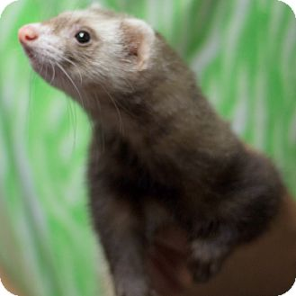Ferret for adoption in Balch Springs, Texas - Piper