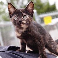 Adopt A Pet :: Emma - St.Ann, MO