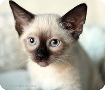 Siamese Kitten for adoption in Rocklin, California - Sparkler