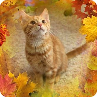 Domestic Shorthair Cat for adoption in Cincinnati, Ohio - Cedric