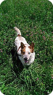 Australian Cattle Dog Mix Dog for adoption in Baltimore, Maryland - Bandit