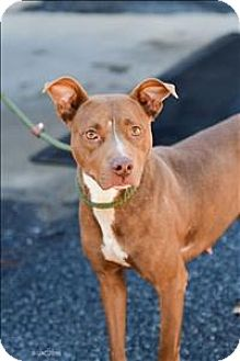 Pit Bull Terrier Mix Dog for adoption in Dallas, Georgia - 16-09-2844 Reba