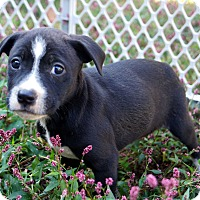 Adopt A Pet :: Sasha - Newark, DE