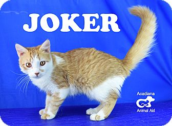 Domestic Shorthair Kitten for adoption in Carencro, Louisiana - Joker