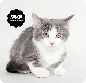 Domestic Shorthair Kitten for adoption in Wyandotte, Michigan - Kanga