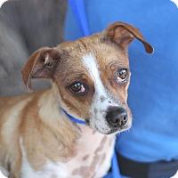 Adopt A Pet :: Rose - Goleta, CA