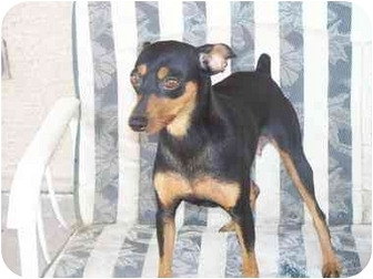 Miniature Pinscher Dog for adoption in Mesa, Arizona - Missy