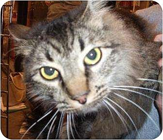 Domestic Longhair Cat for adoption in Madisonville, Louisiana - Blossom Boy