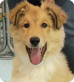 Collie Mix Puppy for adoption in Cedar Rapids, Iowa - Jack