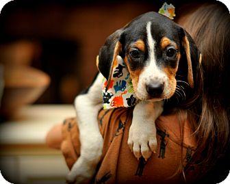 Treeing Walker Coonhound/Beagle Mix Puppy for adoption in Sparta, New Jersey - Twinkie