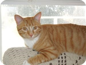 Domestic Shorthair Cat for adoption in Mission Viejo, California - Charlie Brown