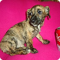 Adopt A Pet :: Tiger - P, ME
