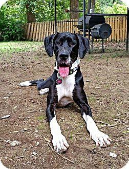 Great Dane Dog for adoption in Virginia Beach, Virginia - Bella