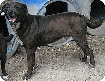 Labrador Retriever/American Pit Bull Terrier Mix Dog for adoption in Tahlequah, Oklahoma - Griffin