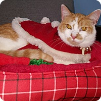 Domestic Shorthair Cat for adoption in Albemarle, North Carolina - Zeus