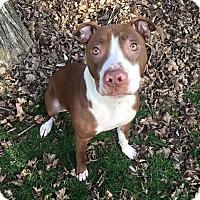 Adopt A Pet :: Bolt - Dayton, OH