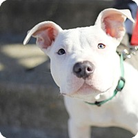 Adopt A Pet :: Handsome Hector - Reisterstown, MD