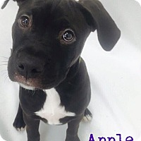 Adopt A Pet :: Apple - Sylvania, OH