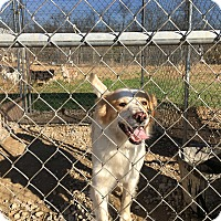 Australian Shepherd Mix Dog for adoption in Parker, Kansas - Buddy