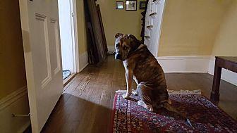 Bulldog/German Shepherd Dog Mix Dog for adoption in Nashua, New Hampshire - Gordon