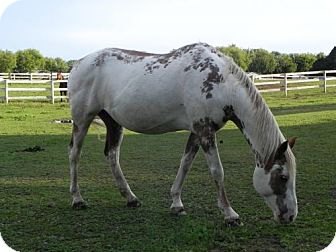 Paint/Pinto for adoption in Woodstock, Illinois - Moonstone