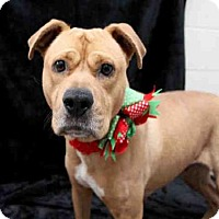 American Staffordshire Terrier Dog for adoption in Jacksonville, Florida - MACY