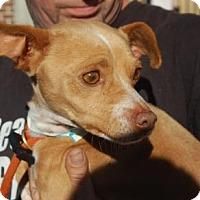 Adopt A Pet :: Todd - Brooklyn, NY