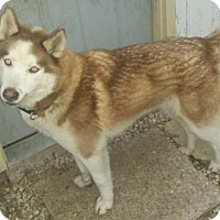Adopt A Pet :: Harley - Iroquois, IL