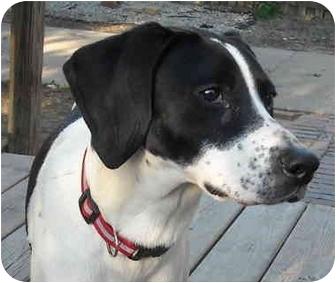 Polly | Adopted Puppy | Swartz Creek, MI | Treeing Walker ...