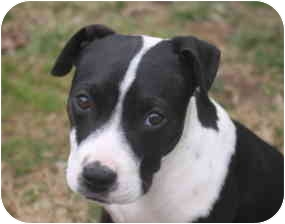 American Bulldog Mix Puppy for adoption in Albany, New York - Corie