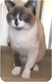 Siamese Cat for adoption in Cleveland, Ohio - Sugar Plum