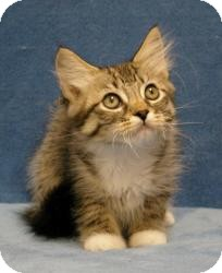 Domestic Mediumhair Cat for adoption in Sacramento, California - Cliff