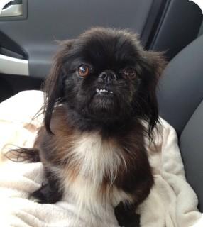 Shih Tzu/Yorkie, Yorkshire Terrier Mix Dog for adoption in Marietta, Georgia - Buddy