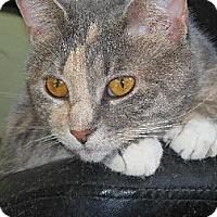 Domestic Shorthair Cat for adoption in Richmond, Virginia - Cora