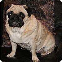 Adopt A Pet :: Porkchop - Avondale, PA