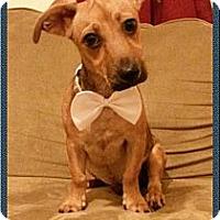 Adopt A Pet :: Darla - Encinitas, CA