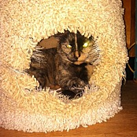 Domestic Shorthair Cat for adoption in Sherman Oaks, California - Raquel - FeLV+