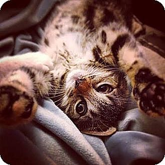 Domestic Shorthair Kitten for adoption in New York, New York - Brittany