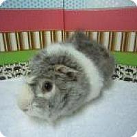Adopt A Pet :: Mr. Spanx - Aurora, CO