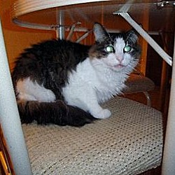 Photo 3 - Maine Coon Cat for adoption in Blairstown, New Jersey - CP - NJ - Noble Noah