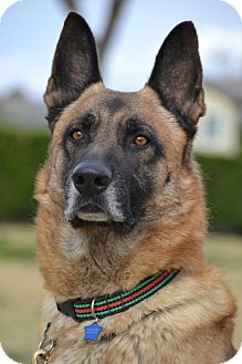 German Shepherd Dog Dog for adoption in Altadena, California - Donner
