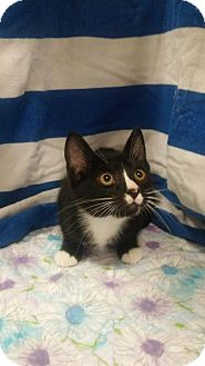 Domestic Shorthair Kitten for adoption in Baton Rouge, Louisiana - Edith