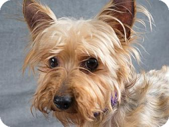 Yorkie, Yorkshire Terrier Dog for adoption in Colorado Springs, Colorado - Fergie