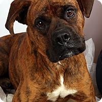 Adopt A Pet :: Moose Boxer - St. Louis, MO