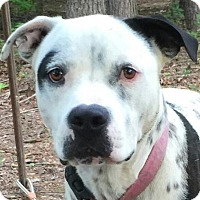 Adopt A Pet :: Pongo - Harrisonburg, VA