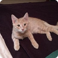 Adopt A Pet :: TOMMY - Chandler, AZ