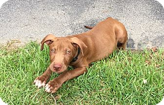 American Staffordshire Terrier/Labrador Retriever Mix Puppy for adoption in Ellaville, Georgia - Peanut (adoption pending)
