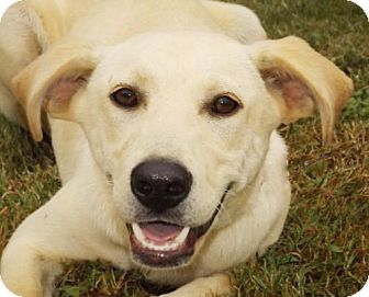 Labrador Retriever Mix Dog for adoption in Oxford, Mississippi - Lenny
