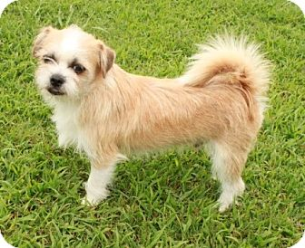 Shih Tzu/Chihuahua Mix Puppy for adoption in Newark, New Jersey - Wheaton